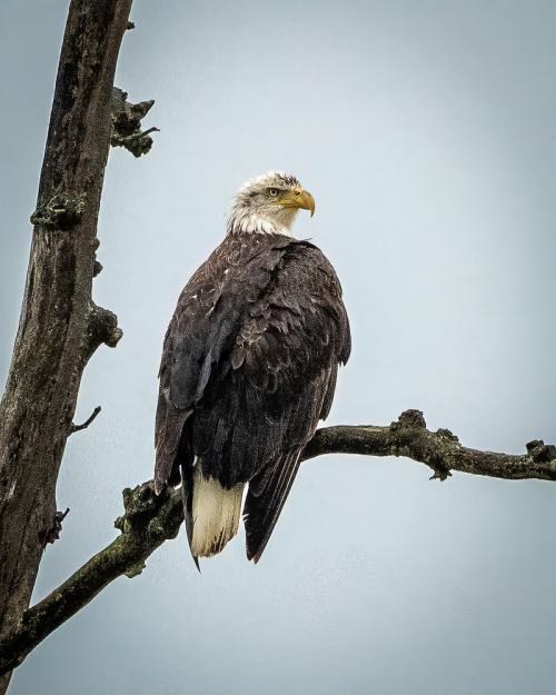 Eaglemetamora-1