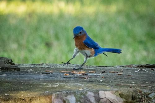 Bluebird-3