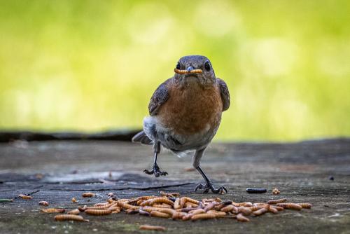 Bluebird-13