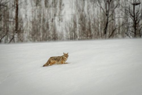 Coyote-9