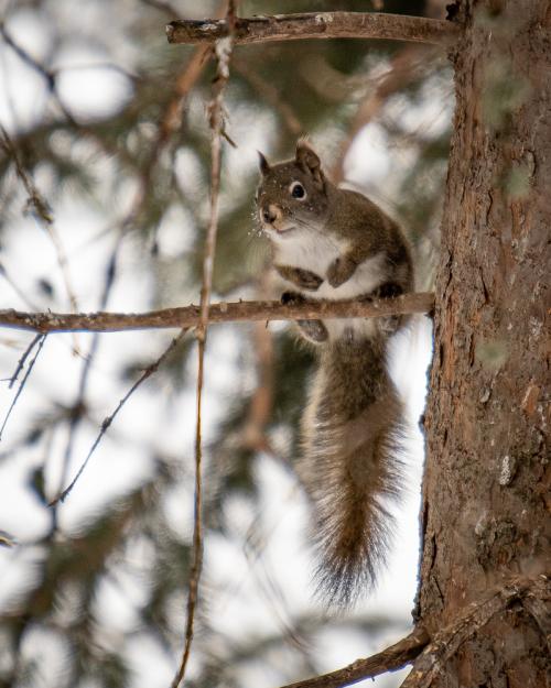 Danhartmans red squirrel-1