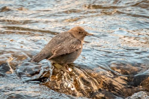 Waterfowlamericandipper-4