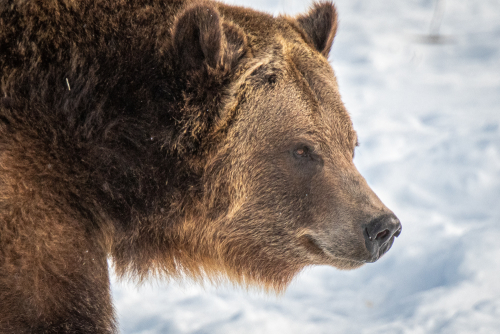 Grizzlywolfdiscoveryctr-11