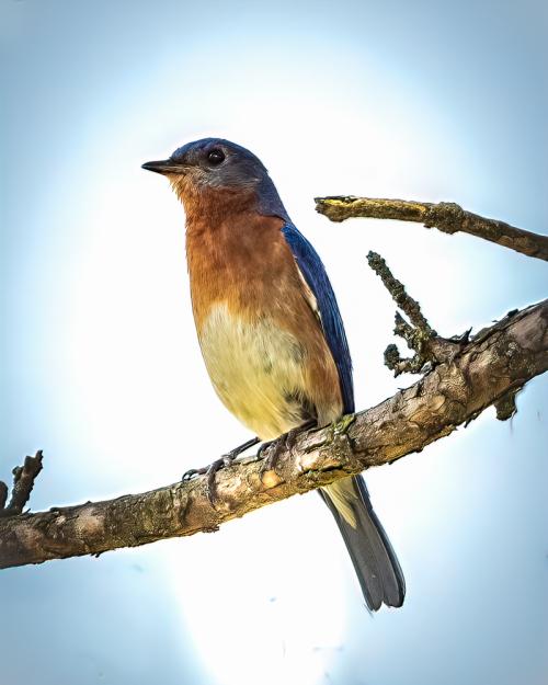 Bluebird-23