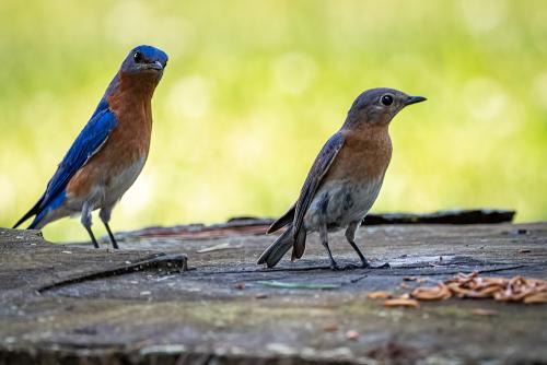 Bluebird-12