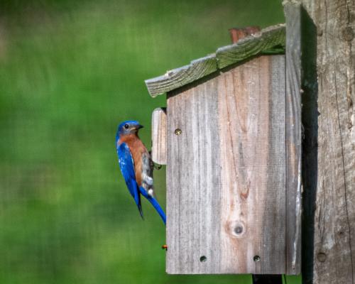 Bluebirdeggs-1