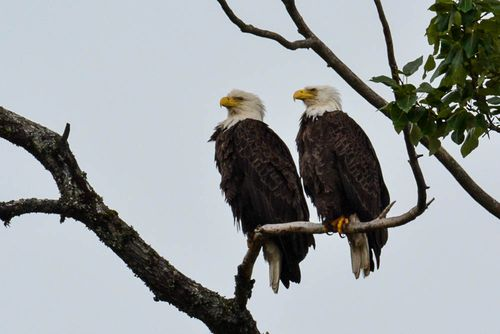 Eagle Sentries