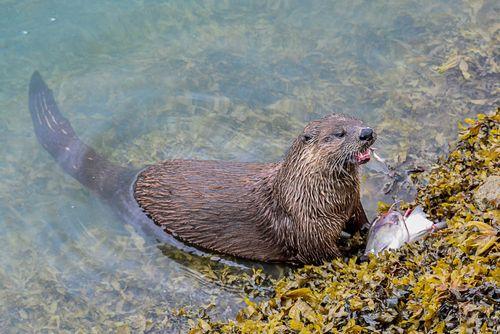 Otter Breakfast