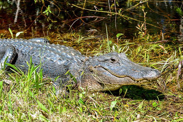 Sunning Gator